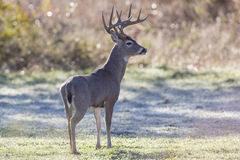 At full alert. Big Whitetail Deer Buck on full alert in field Royalty Free Stock Photography