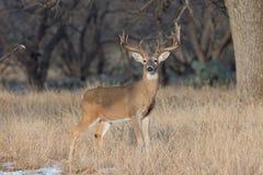 At full alert. Whitetail Buck at full alert stock photos