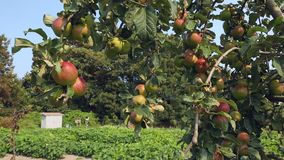 Full Apple Tree camera move stock video footage