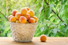 Full basket of apricots in the garden. Greenery on a background. Royalty Free Stock Image