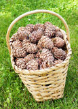 Full basket of cedar cones Royalty Free Stock Photography