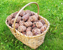 Full basket of cedar cones Stock Photo