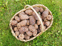Full basket of cedar cones Royalty Free Stock Photo