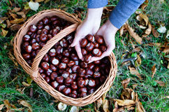 Full basket of chestnuts Stock Images
