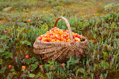 Full basket of cloudberry Stock Photo
