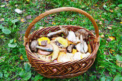 Full basket of fresh autumn mushroom Royalty Free Stock Photo