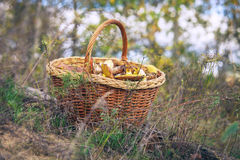 Full basket of mushrooms on the forest glade Stock Photography