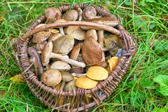 Full basket of mushrooms in green grass. Edible fungus grew in the forest, autumn harvesting, search, hunting. A beautiful hat and a thick leg are hidden in the stock image