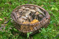 Full basket of mushrooms in green grass. Edible fungus grew in the forest, autumn harvesting, search, hunting. A beautiful hat and a thick leg are hidden in the stock images