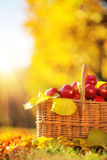 Full basket of red juicy organic apples with yellow leaves on au Stock Photo