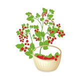 Full basket of sweet raspberries Stock Photos