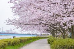 Full blom av Cherry Blossom Sakura i Saitama, Japan Arkivbild