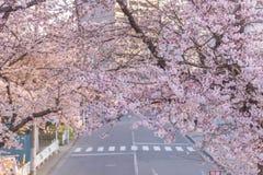 Full blom av Cherry Blossom Sakura i Saitama, Japan Royaltyfria Bilder