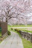 Full blom av Cherry Blossom Sakura i Saitama, Japan Arkivfoto