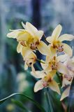 Full blom av den gula orkidéblomman Arkivbild