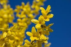 Full blom för forsythiafilialer och blå himmel Arkivfoto
