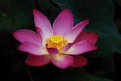Full blomlotusblomma Arkivfoton