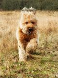 Full-blooded golden sheepdog briard running on meadow. Golden full-blooded impish briard sheepdog running on autumn meadow Royalty Free Stock Photo