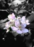 Full bloom Stock Image