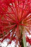 Full bloom bloody lily. A full bloom bloody lily (Scadoxus  multiflorus Royalty Free Stock Photography