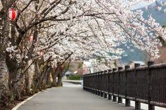 Full bloom cherry blossom along foot path at Kawaguchiko north s. Hore lake, Japan Royalty Free Stock Photography
