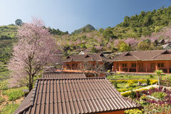 Full bloom cherry blossom. On Angkhang mountain Stock Photo