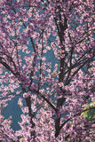 Full bloom cherry blossom. On Angkhang mountain Stock Photos