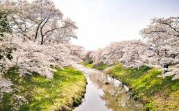 Full bloom of cherry blossom flower along the river in Japan. Full bloom of cherry blossom or Sakura flower along river at Fujitakawa, Fukushima, Tohoku, Japan royalty free stock image