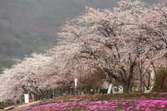 Full bloom cherry blossom with pink moss foreground at Kawaguchi Royalty Free Stock Images