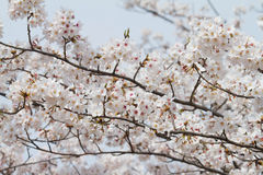 A full bloom of cherry blossom tree Stock Images