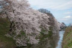 The full bloom Cherry-blossom trees along Kajo castle moats. Stock Photo