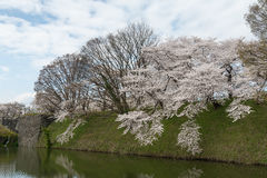The full bloom Cherry-blossom trees along Kajo castle moats. Stock Image