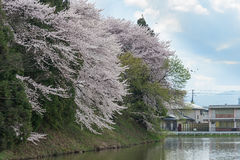 The full bloom Cherry-blossom trees along Kajo castle moats. The full bloom Cherry-blossom trees along Kajo castle moats (Yamagata castle site park). This park Royalty Free Stock Images