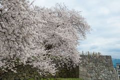 The full bloom Cherry-blossom trees and Kajo castle wall. Stock Photo