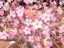 Full bloom early. Season flowers a lovely Royalty Free Stock Photo