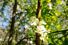 The full bloom of the flower is white in the spring season of the blue sky. Nature background.  royalty free stock images