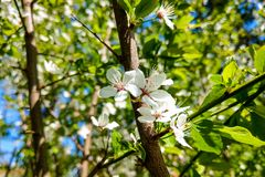 The full bloom of the flower is white in the spring season of the blue sky. Nature background.  stock images
