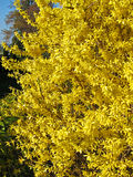 Full Bloom Forsythia Yellow Shrub Stock Photo