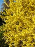 Full Bloom Forsythia Yellow Shrub Stock Photo
