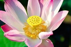 Full bloom lotus Royalty Free Stock Photos