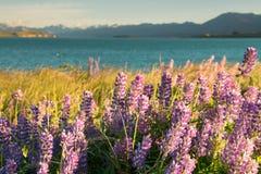 Full bloom lupine flower, New Zealand. Summer season natural landscape stock photos