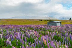 Full bloom lupine flower over glass field. New Zealand summer natural landscape background royalty free stock photo