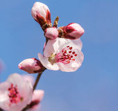 In full bloom in the peach blossom Stock Photos