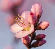 In full bloom in the peach blossom Stock Images