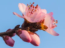 In full bloom in the peach blossom Royalty Free Stock Image