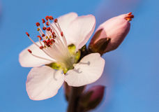 In full bloom in the peach blossom Royalty Free Stock Photography