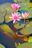 Full bloom pink lotus flowers. Pink lotus flowers blooming in Thale Noi, Lake in Phatthalung Stock Photos