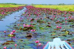 Full bloom pink lotus flowers. Pink lotus flowers blooming in Thale Noi, Lake in Phatthalung,southern Thailand Royalty Free Stock Images
