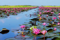Full bloom pink lotus flowers. In Thale Noi, Lake in Phatthalung Royalty Free Stock Photography