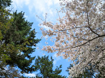 Full bloom pink sakura branches and evergreen tree scene with bl. Ue sky background on sunny day Stock Photos